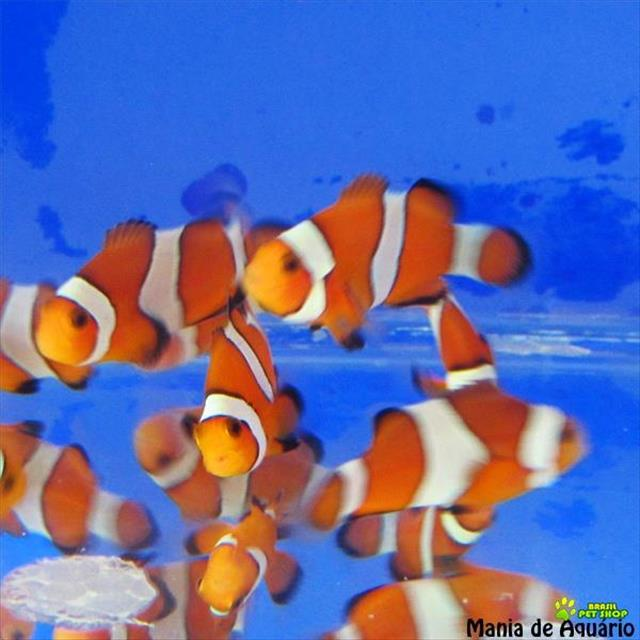 peixes ornamentais, corais e invertebrados - marinhos e dulcícolas