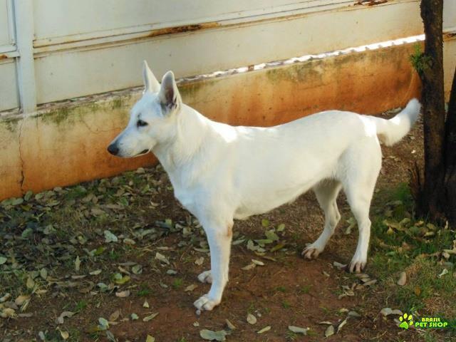 filhotes de pastor branco suiço com pedigree cbkc