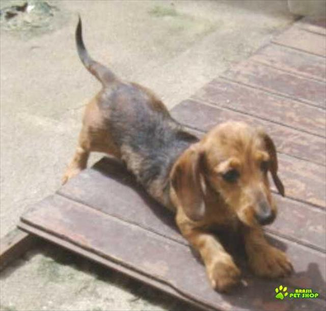 dachshund teckel  0de pelo duro  fêmeas com pedigree cbkc
