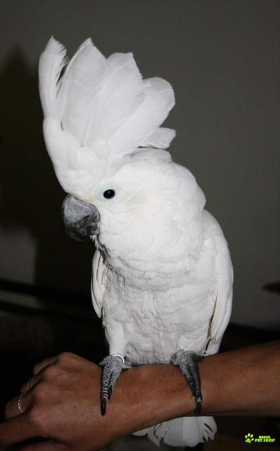 aves ex�ticas(papagaio jaco,papagaio ecletus,cacatua alba,cacatua galerita,cacatua citrino-cristata)