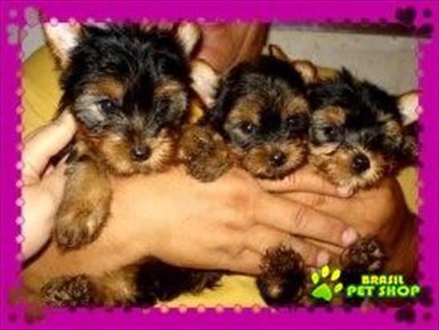 lindos filhotes de yorkshire terrier!  (entregue já vacinados)
