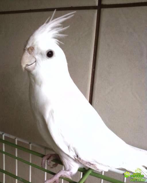 filhotes de calopsita mansa (comum / cara branca / albina )
