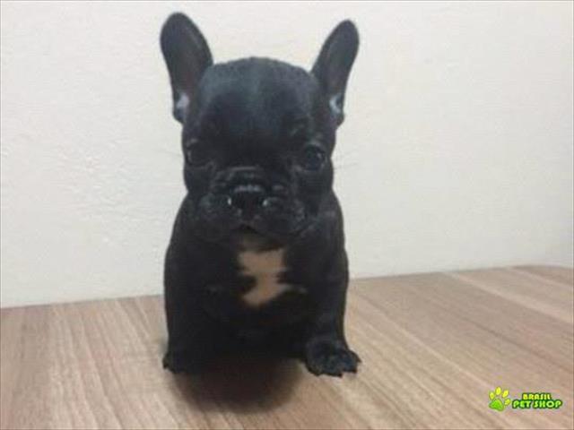 vendo excelente filhote macho de bulldog francês