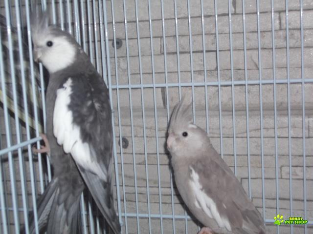 azulão - calopsitas - canário - gaiola