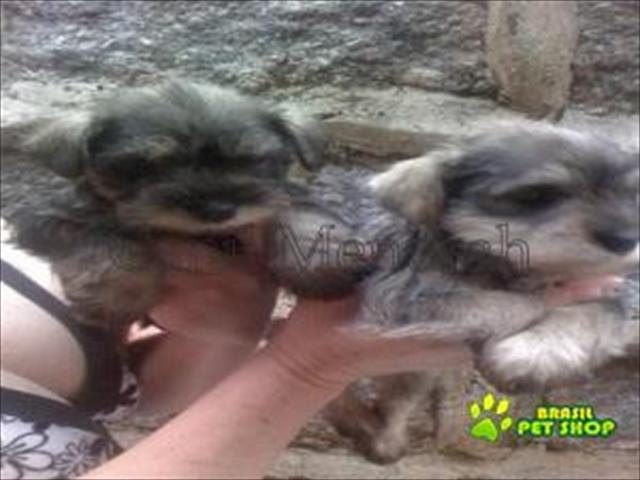 filhotes de schnauzer miniatura