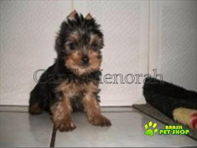 yorkshire terrier filhotes lindos