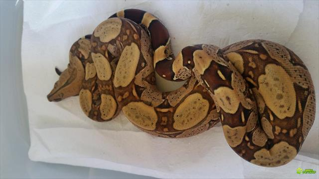 boa constrictor constrictor (jibóia).