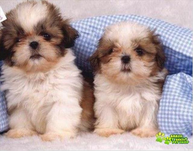 lindos filhotinhos machos de shih tzu com pedigree e contrato