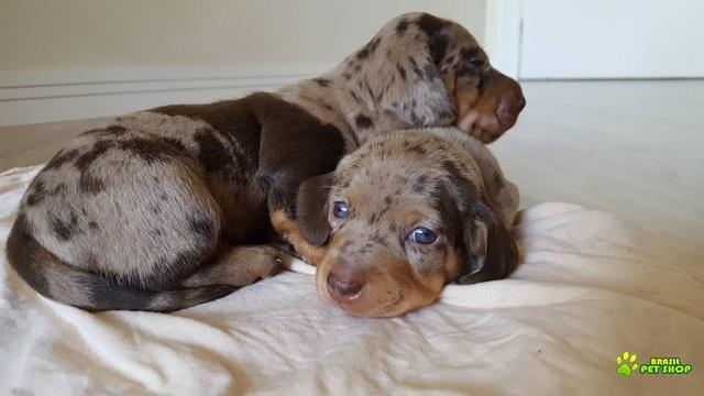 filhote dachshund arlequim chocolate