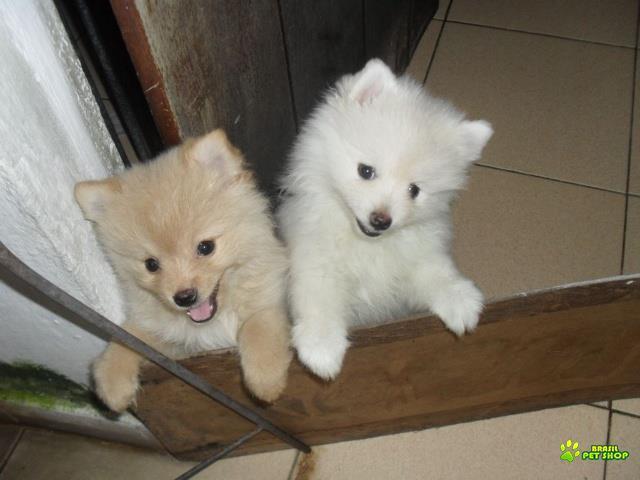filhotes de  spitz alemão branco neve c/ pedigree..anões
