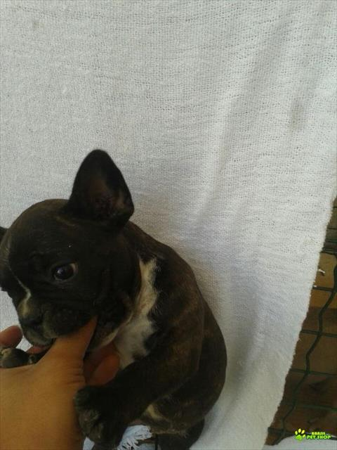 linda bulldog francês fêmea