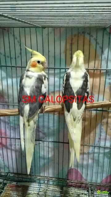 calopsitas mansas - criadouro sm calopsitas