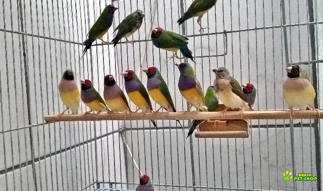 pássaros diamante de gould