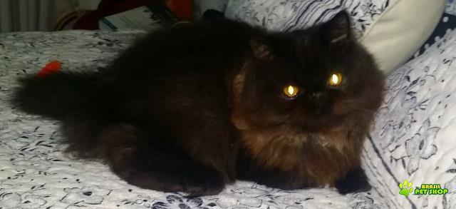 gato persa - preto -prata-