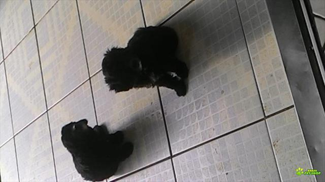 2 lindos poodle