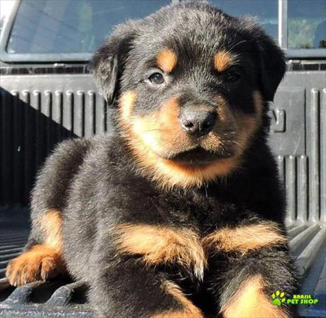 preto e marrom rottweilers para adoção