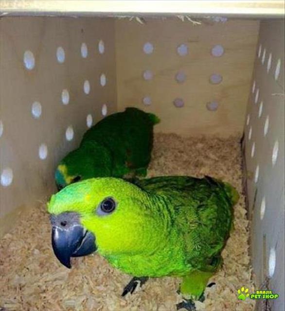 papagaio verdadeiro - legalizado