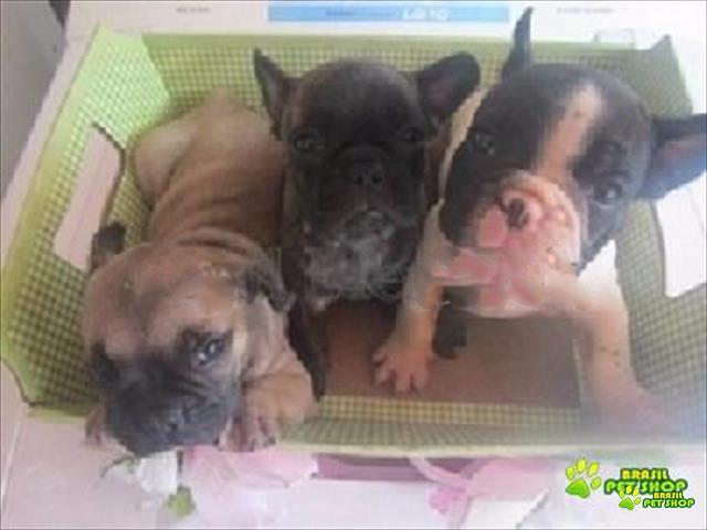 bulldog frances filhote afetuosos