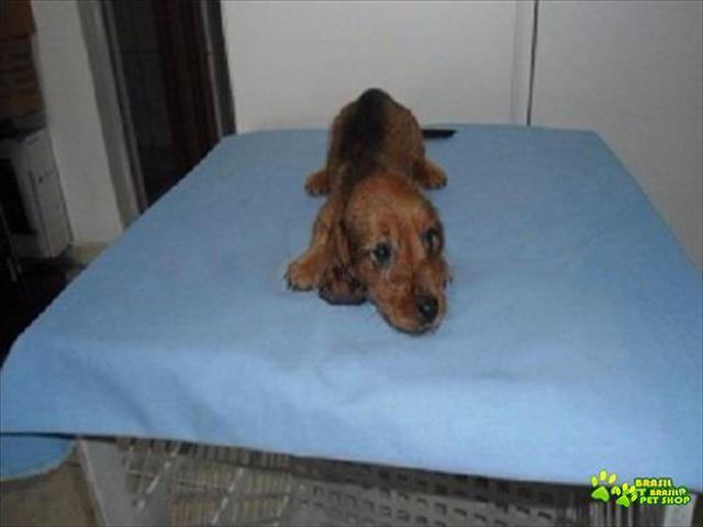dachshund lindos e carinhosos