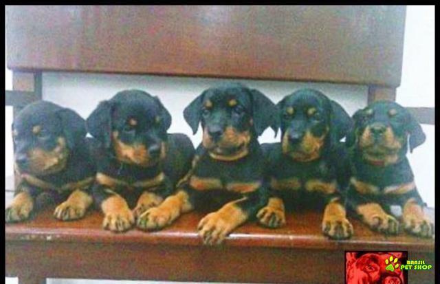 filhotes rottweiler com pedigree excelente linhagem