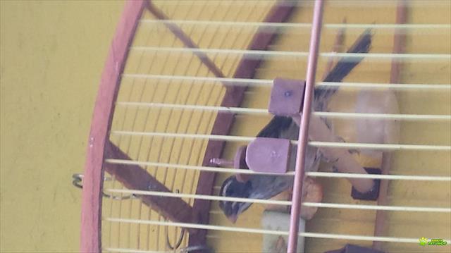 filhote fêmea de trinca ferro com rg