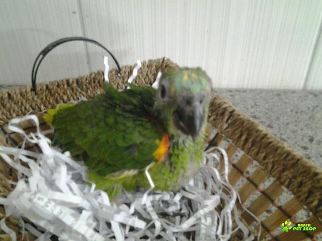 aves de bico curvo e tucanos legalizados de criadouro comercial autorizado