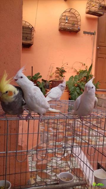 calopsitas. lindos filhotes a venda