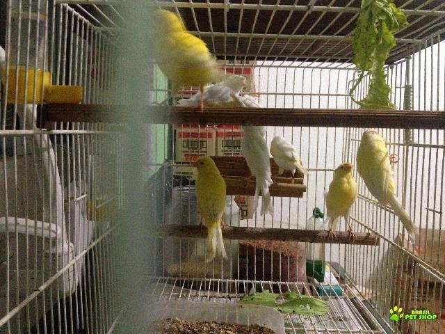 canários machos e fêmeas