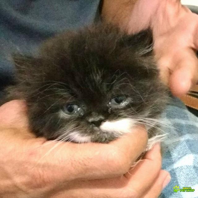 lindo filhote gato persa