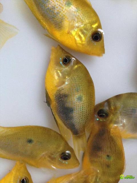 peixes ornamentais (atacado e varejo)