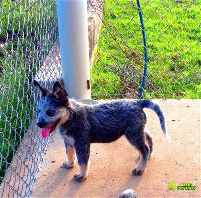 australian cattle dog blue reeler