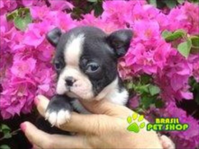 boston terrier lindos filhotes