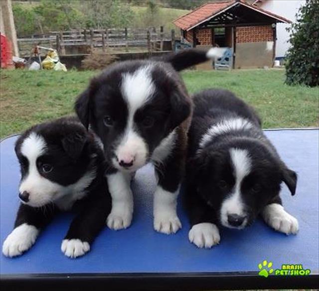 border collie filhotes maravilhosos e inteligentes