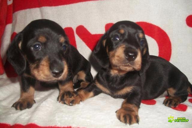 dachshund filhotes graciosos e inteligentes