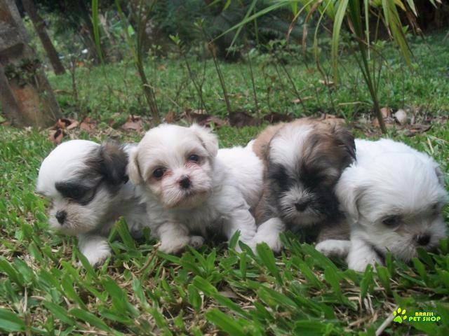lhasa apso filhotes maravilhosos e cativantes