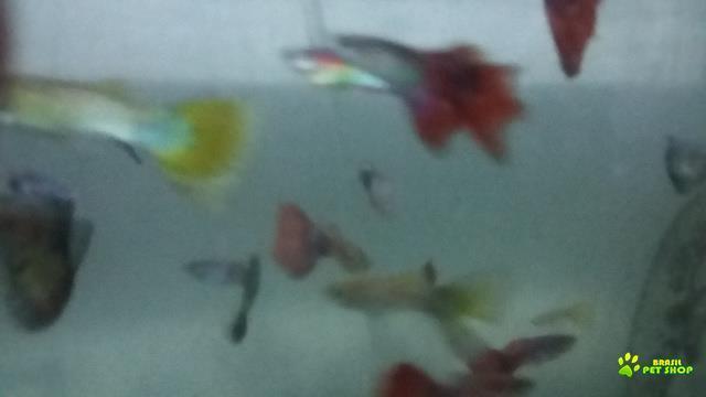 mundial peixes ornamentais