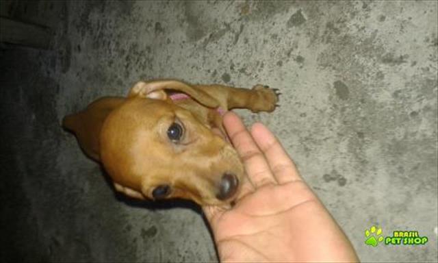 filhote de dachshund