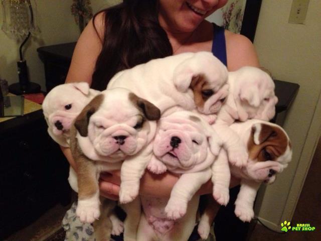 filhotes bulldog ingleses masculino e feminino com pedigree