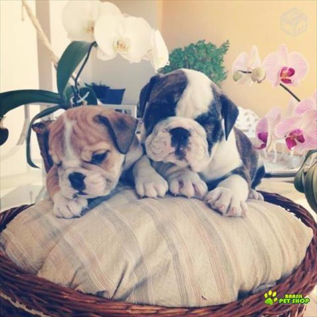lindos filhotes de bulldog inglês